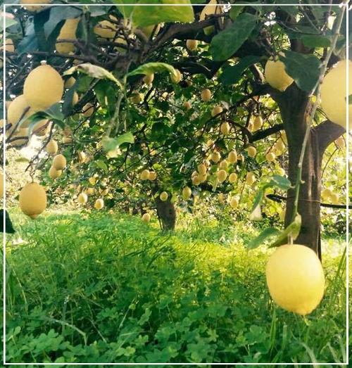 Azienza Limoni