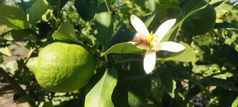 fioritura-di-limoni-768x348