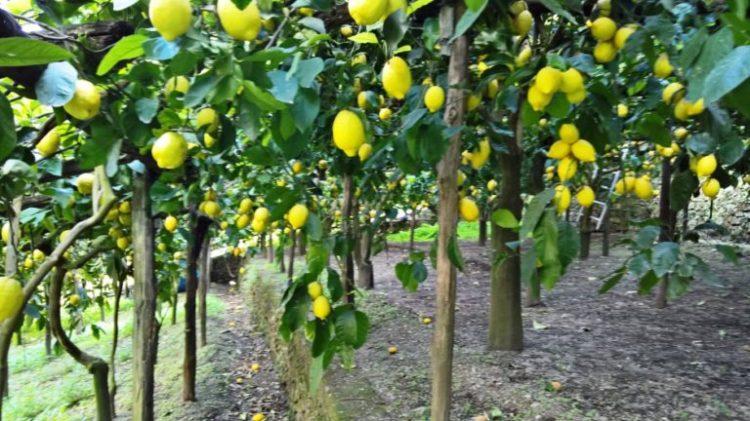 varietà-di-limoni-768x432