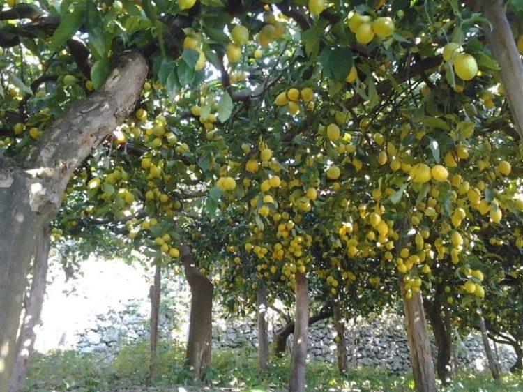 varietà-limone-768x576